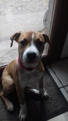 Miss Lola, chiot American Staffordshire Terrier