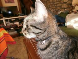 Miss Tinguette, chat Européen