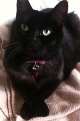 Miss Titoune, chat Européen