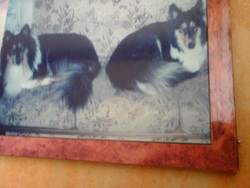Missa Mabrouque , chien Colley à poil long