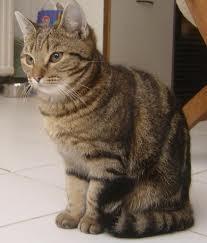 Misscat, chat