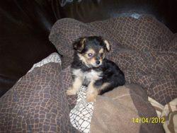 Misspeggy, chien Yorkshire Terrier