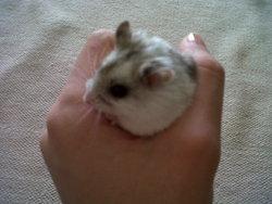 Mister, rongeur Hamster