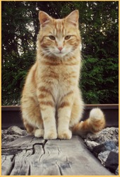 Mister, chat Européen