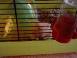 Mister Grignotte, rongeur Hamster