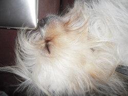 Mister Muggles, chien Bichon maltais