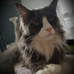 Mister Mystic Blue, chat Maine Coon