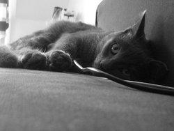 Misti, chat Européen