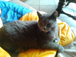 Misti-Gris, chat Chartreux