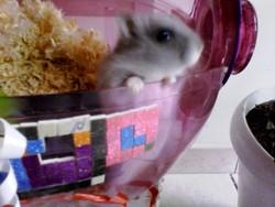 Mistigri, rongeur Hamster
