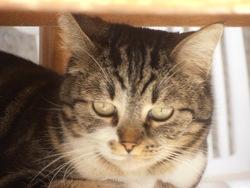 Mistigrie, chat