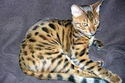 Mistigrie, chat Bengal
