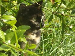 Mistigris, chat Gouttière