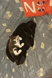 Mistigris, chat