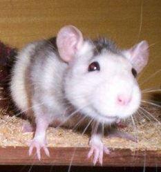 Mistinguette, rongeur Rat