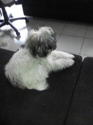 Mistral, chien Bichon havanais