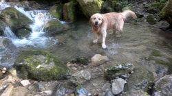 Mistral, chien Golden Retriever