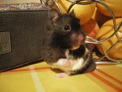 Mistral, rongeur Hamster