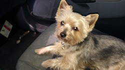 Misty, chien Yorkshire Terrier