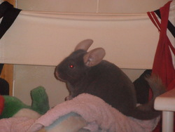 Misty, rongeur Chinchilla