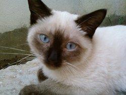 Mitcha, chat Siamois
