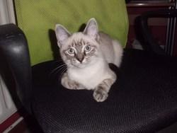 Mitchi, chat Européen
