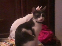Mito Et Minette, chat Européen