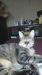 Mitsi, chat Européen