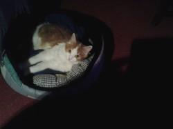 Mitsoo, chat Européen