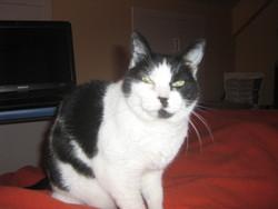 Mitsy, chat Européen