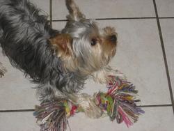 Mitsy, chien Yorkshire Terrier