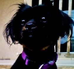 Mitzi, chien Pékinois