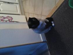 Mitzi, chat Siamois