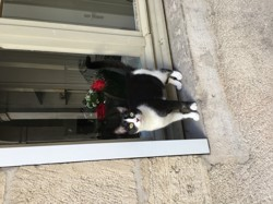 Mitzy, chat Européen