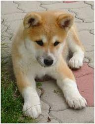 Miwa, chien Akita Inu