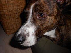 Miya, chien Welsh Corgi