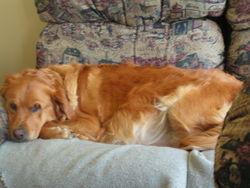 Miya, chien Golden Retriever
