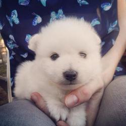 Miya, chien Spitz japonais