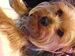 Miya, chien Yorkshire Terrier