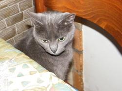Missi, chat Bleu russe