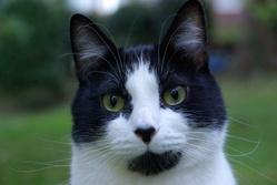 Miyo, chat Européen