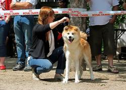 Miyuki, chien Akita Inu