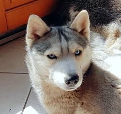 Miyuki, chien Husky sibérien