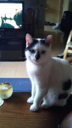 Mj Et Filou, chat Européen