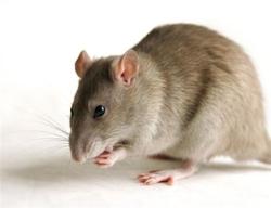 Mj William, rongeur Rat