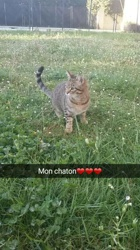 Moccy, chat Européen