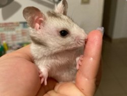 Mochi, rongeur Hamster