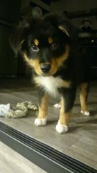 Mocka, chien Berger australien