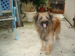 Mod, chien Berger des Pyrénées