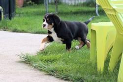 Modjo, chien Grand bouvier suisse